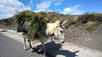 A overladden donkey